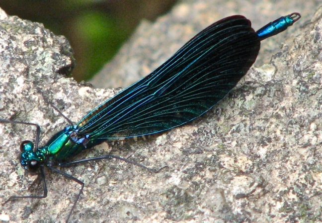 Demoiselle Agrion Dragonfly